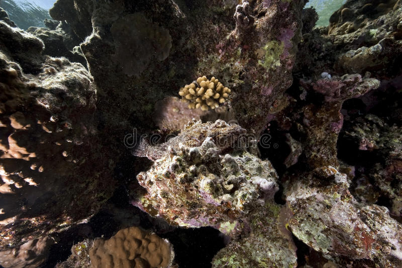 scorpionfish стоковое фото