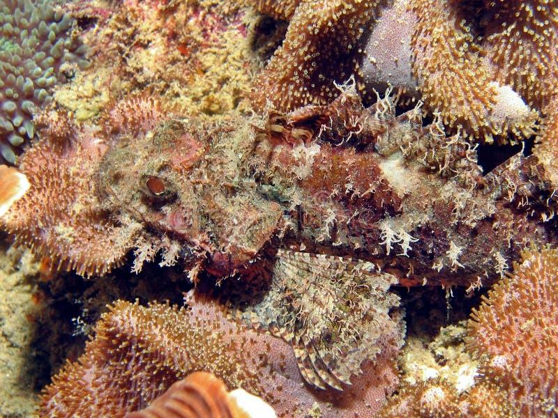 scorpionfish obrazy royalty free
