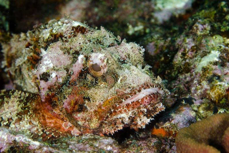 Download Scorpionfish stock image. Image of danger, portrait, nature - 14856595