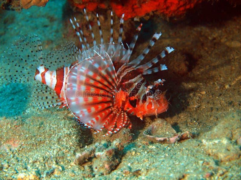 scorpionfish стоковое фото rf