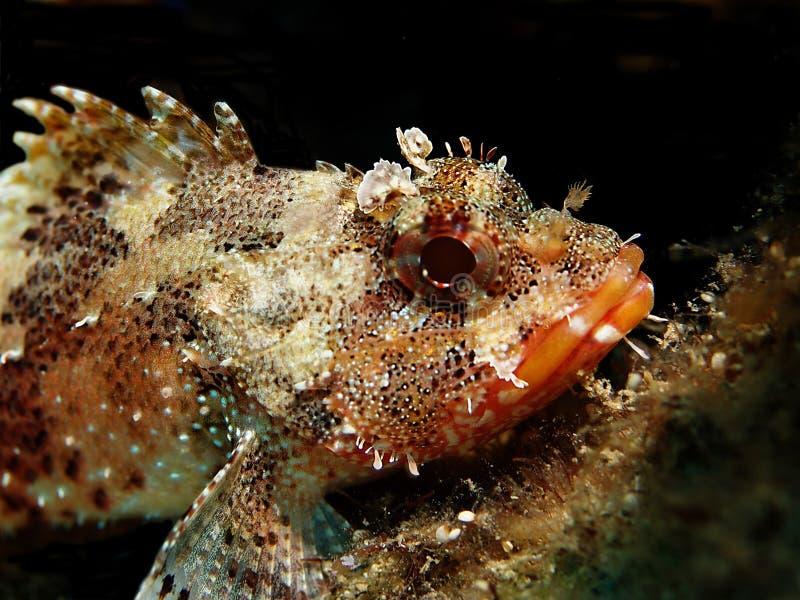 scorpionfish стоковые изображения