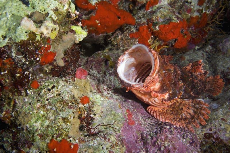 scorpionfish стоковая фотография rf