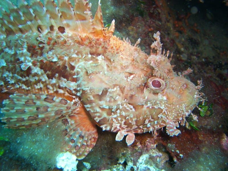 Scorpionfish in Middellandse Zee royalty-vrije stock fotografie