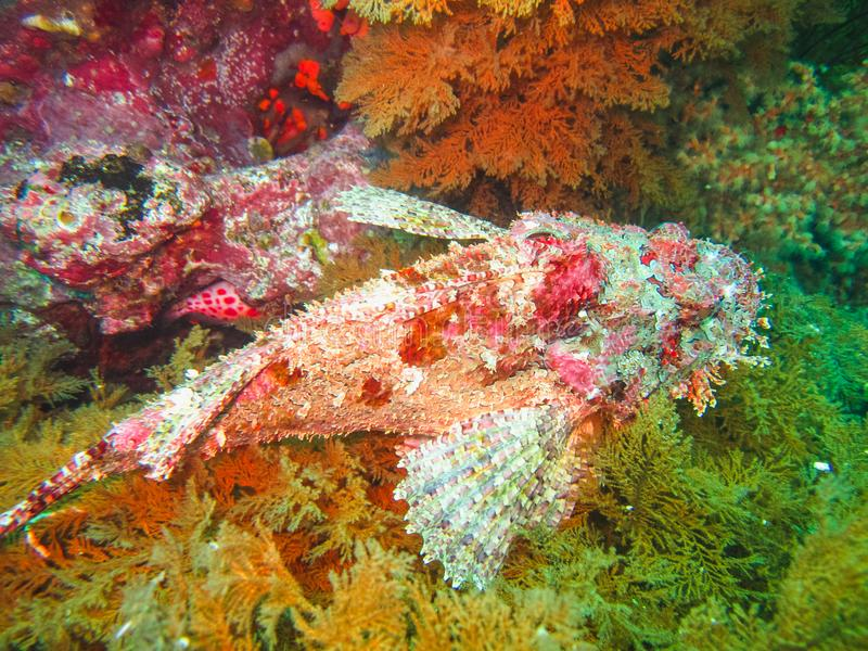 Scorpionfish på en korallrev i det karibiska havet Ecuador royaltyfri bild
