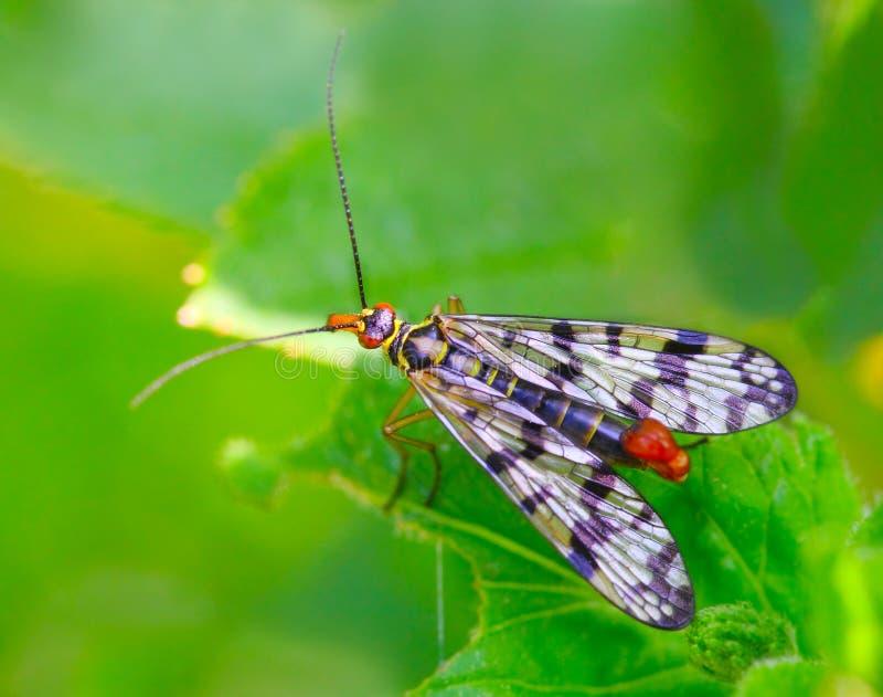 Scorpionfly (Mecoptera). stock fotografie