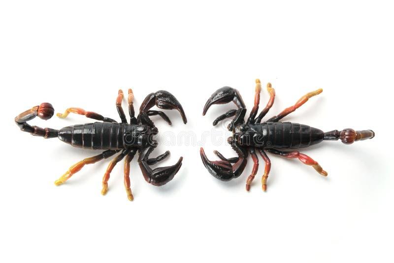 Scorpioni fotografia stock libera da diritti