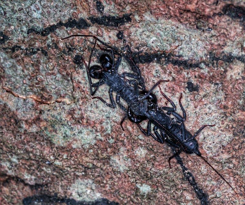 Scorpioni accoppiamento alla notte immagini stock libere da diritti