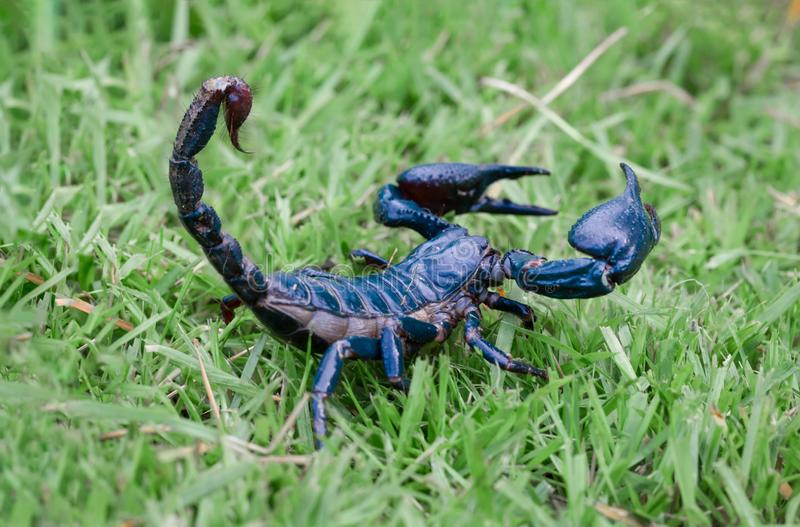Scorpions on the grass blur. Scorpions on the grass closeup detail stock image