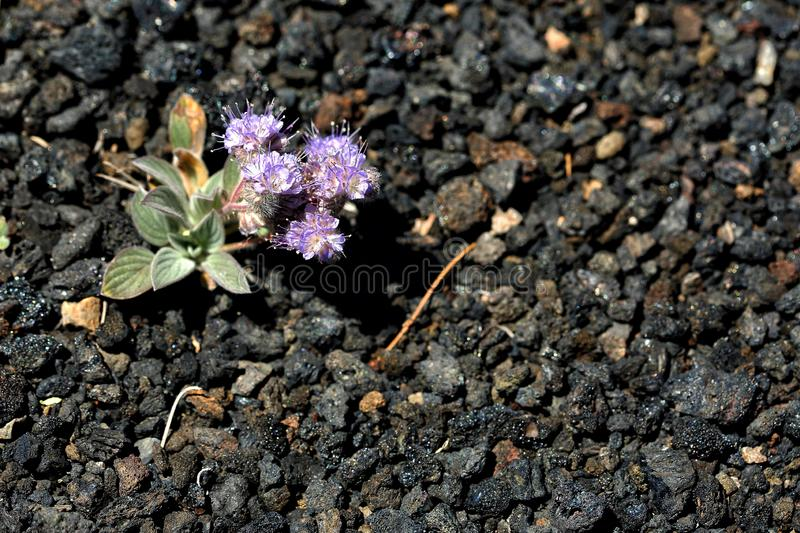Scorpion weed Phacelia hastata in Craters of the Moon National, monument. stock images