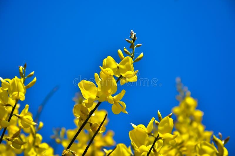 Scorpius de Genista, aliaga ou ajonc, buisson avec les fleurs jaunes de la famille de fabaceae sur le fond bleu photos libres de droits