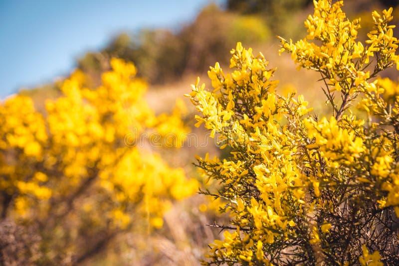 Scorpius de Genista Fond jaune sauvage de nature de fleurs image stock
