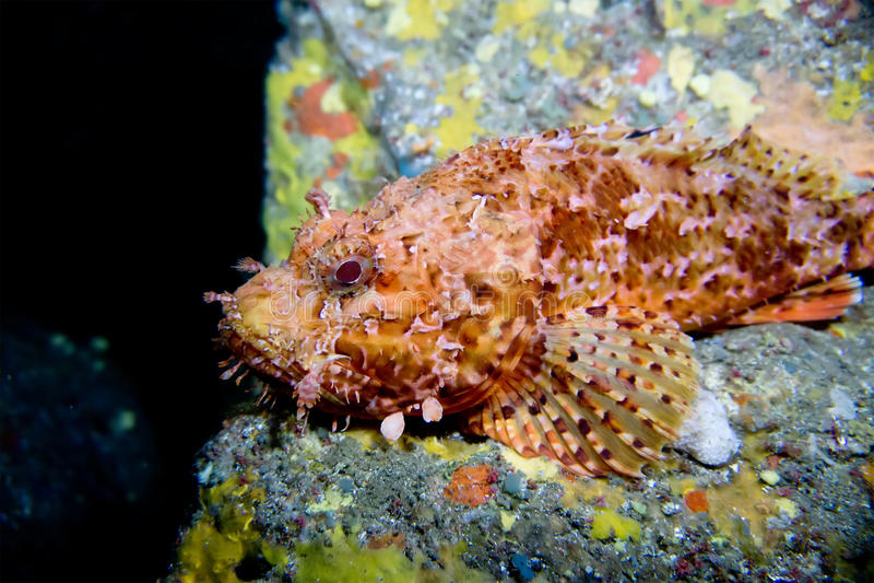 Scorpora σκορπιών Μεσογειακός Menorca στοκ φωτογραφία με δικαίωμα ελεύθερης χρήσης
