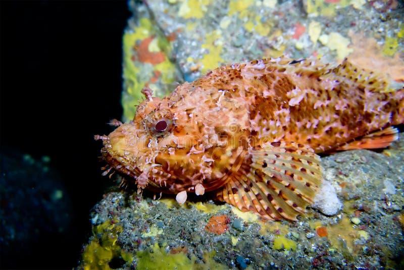 Scorpora Scorpionfish среднеземноморск Менорка стоковое фото rf
