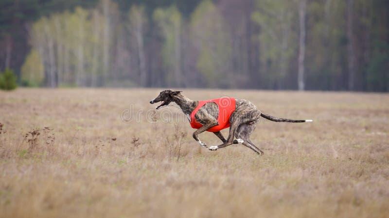 Scorrere, passione e velocità Funzionamento del levriero del cane immagini stock