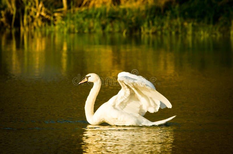 Scorrimenti rapidi bianchi e nuotate bei di un cigno nel sole uguagliante fotografie stock libere da diritti