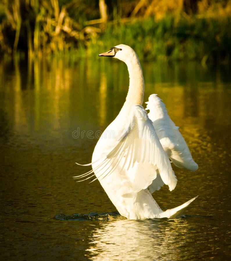 Scorrimenti rapidi bianchi e nuotate bei di un cigno nel sole uguagliante immagini stock libere da diritti