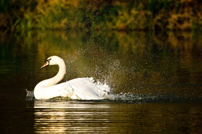 Scorrimenti rapidi bianchi e nuotate bei di un cigno nel sole uguagliante immagine stock