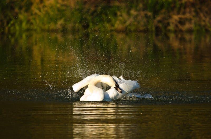 Scorrimenti rapidi bianchi e nuotate bei di un cigno nel sole uguagliante immagini stock
