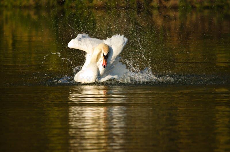 Scorrimenti rapidi bianchi e nuotate bei di un cigno nel sole uguagliante fotografie stock