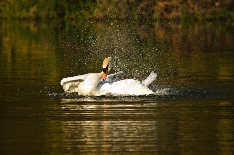 Scorrimenti rapidi bianchi e nuotate bei di un cigno nel sole uguagliante fotografia stock libera da diritti