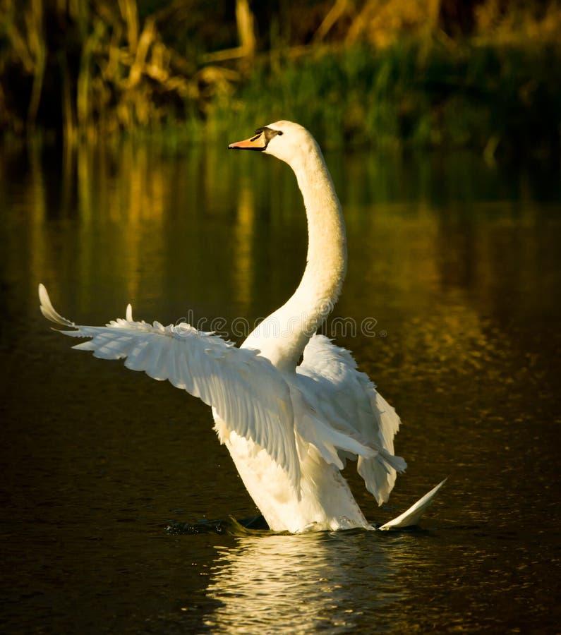Scorrimenti rapidi bianchi e nuotate bei di un cigno nel sole uguagliante fotografia stock