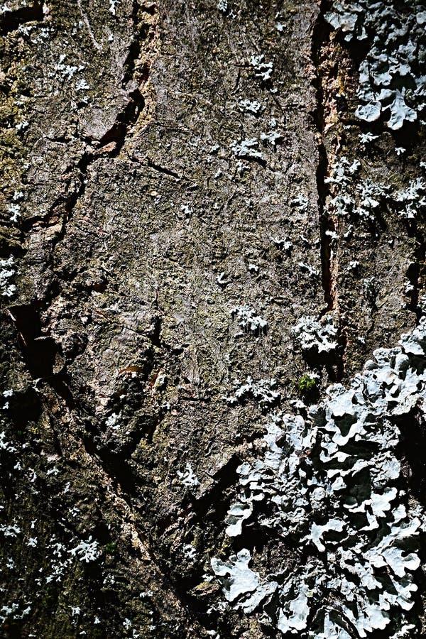 Scortecci la struttura del Prunus Serrulata o Sakura dell'albero del fiore di ciliegia con il lichene che cresce sulla sua superf immagini stock libere da diritti