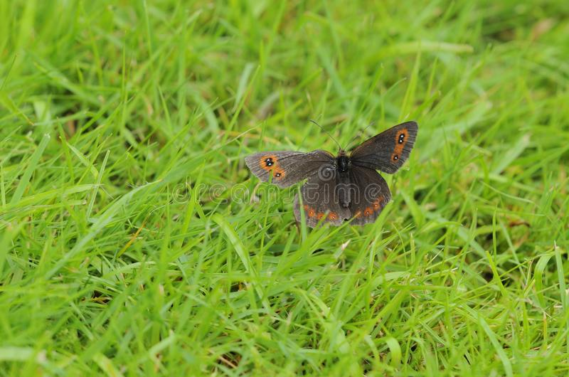 Scotch Argus Butterfly in Grassland. View of Scotch Argus butterfly in damp grassy field in August, West Scotland royalty free stock photo