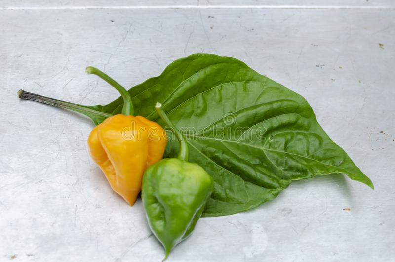 Scotch Bonnet peppers And Leaf. On a white surface and on a green leaf of its plant is a whole green, and, yellow ripe hot scotch bonnet pepper, on white surface royalty free stock image