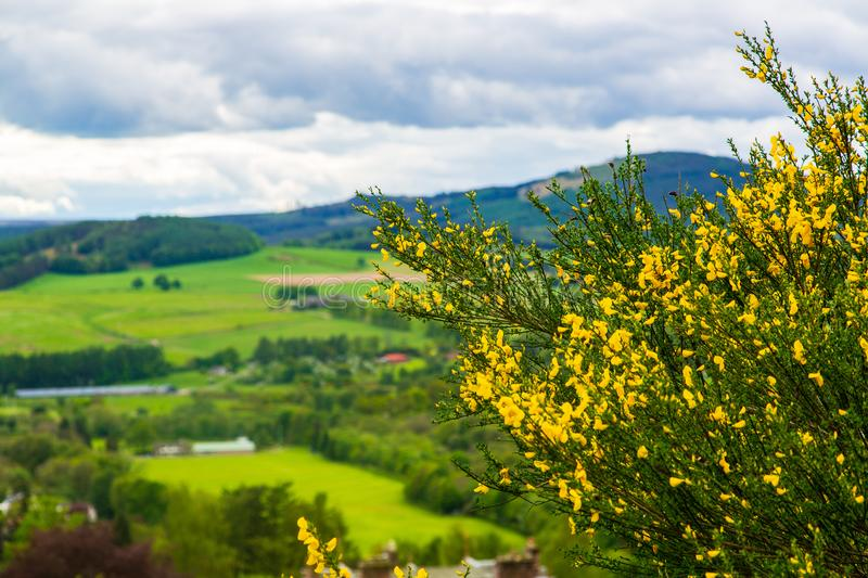 Scotch broom in Scotish landscape royalty free stock image