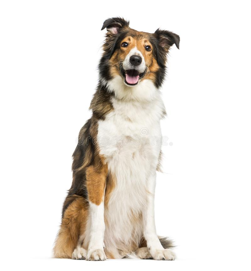 Scotch Collie sitting in front of white background. Isolated on white stock image