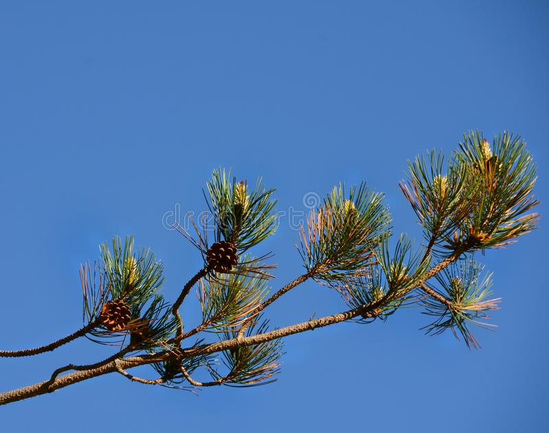 Scotch Pine branch against blue sky stock photo