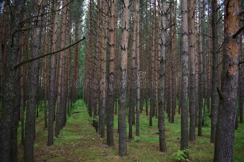 Scotch pine is the main species in the forest under the canopy of these forests. And plenty of light royalty free stock photo
