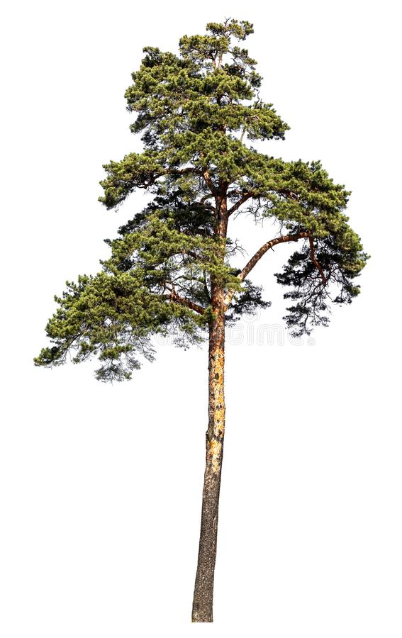 Scotch pine tree. Isolated on white background stock images