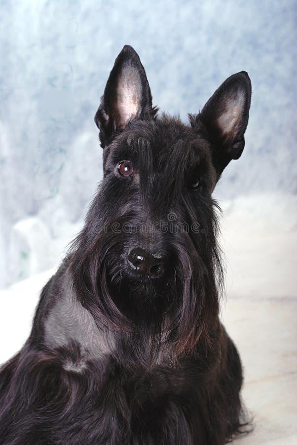 scotch terrier 06 arkivbilder