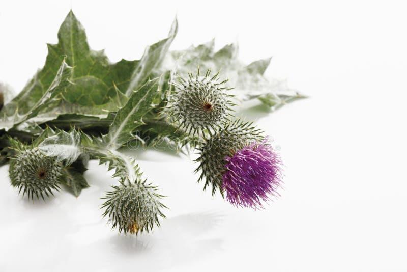 Scotch thistle (Onopordum acanthium) royalty free stock photo