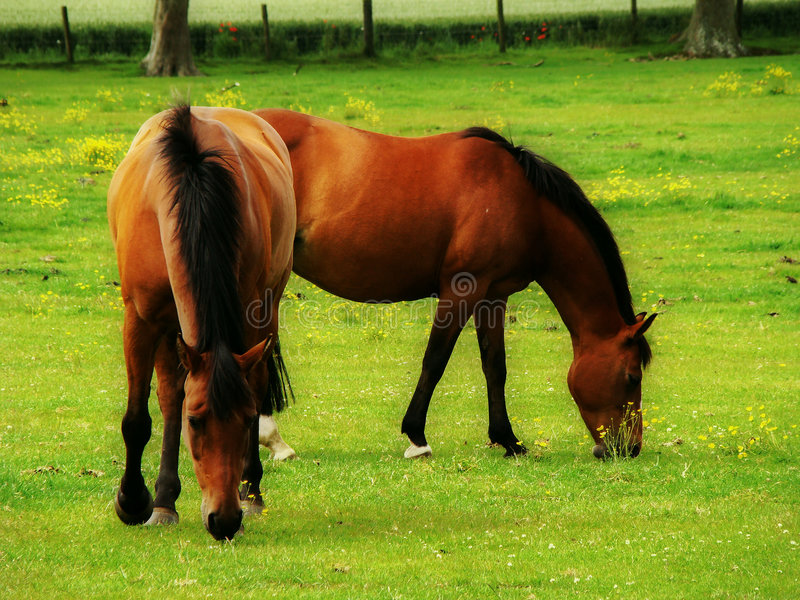 Scotish horse stock photo