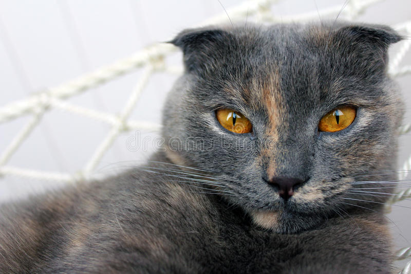 Scotish veck Cat Gery med Ginger Flecks royaltyfria bilder