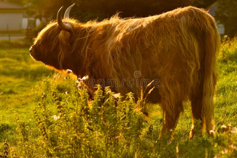 A Scotland Cow in the sun royalty free stock photography