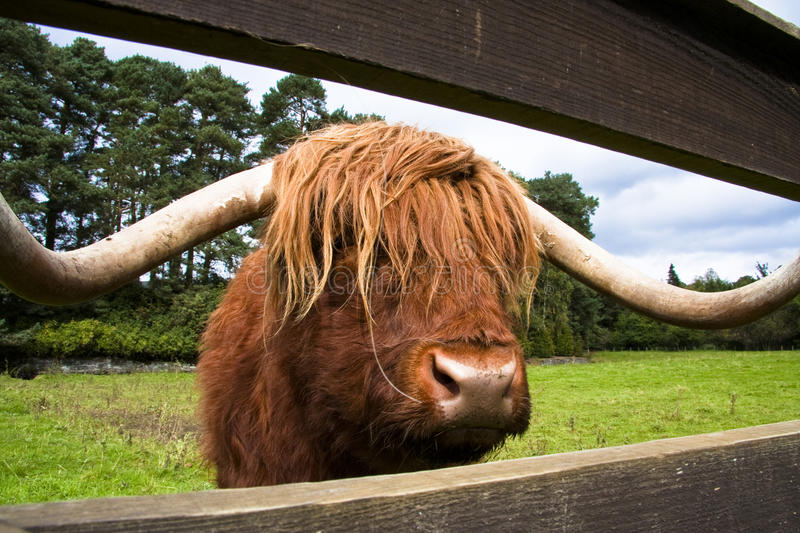 Download Scotland highland cattle stock photo. Image of gate, fence - 21895276