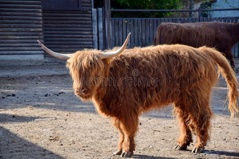 Scotland Highland Cattle Bos primigenius f. taurus Stock Photo. Scotland Highland Cattle Bos primigenius f. taurus Watching Stock Photo stock photos