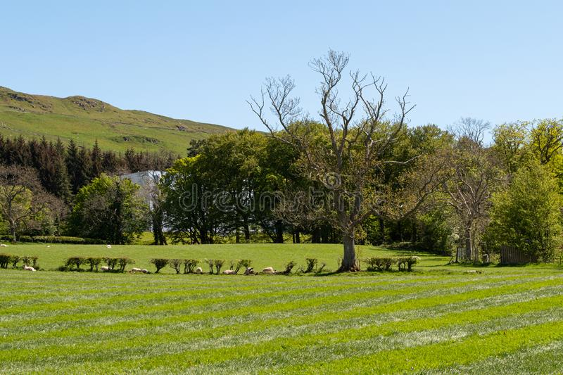 Scotland`s Ayrshire Farmlands with Young Lambs, Treelined hedges and a Blue Sky Behind Largs. Hillside behind the town of Largs Scotland looking over typical royalty free stock photo