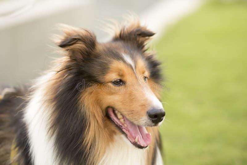 Scotland shepherd dog stock photo