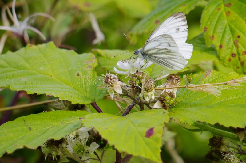 Small White Butterfly & x28; Pieris rapae & x29; on a Bramble & x28; Rubus frut. SCOTLAND UK - January 11, 2017: Newly discovered fossils show that moths and royalty free stock photos