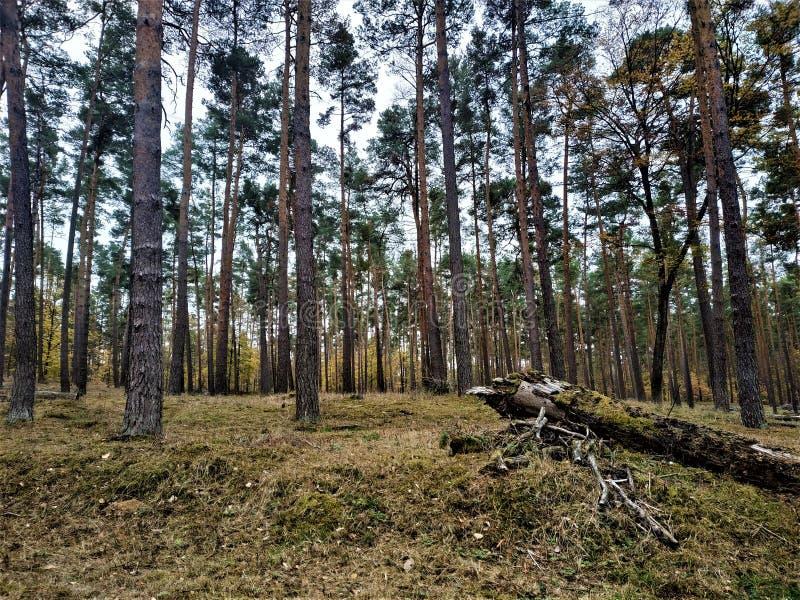 Scots сосна в лесе с травой и стволом дерева стоковое фото