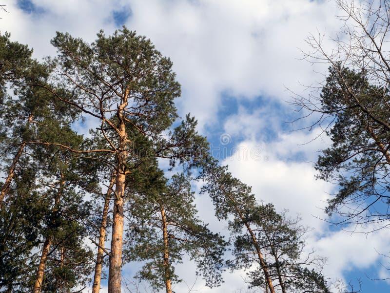 Scots сосна, sylvestris pnus, в окружающей среде стоковое фото rf