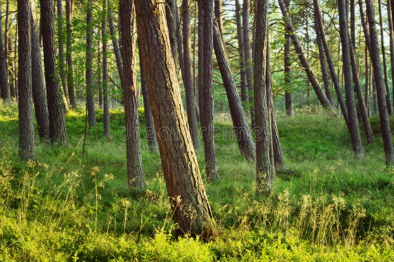 Scots lub Szkockiej sosny Pinus sylvestris drzewa w iglastym lesie zdjęcie stock