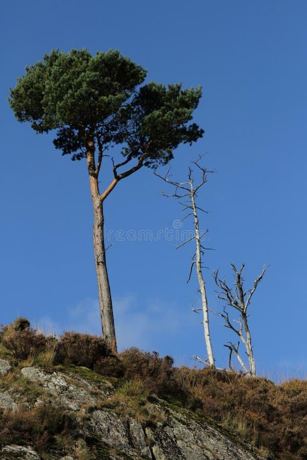 Scots pijnboom. royalty-vrije stock afbeeldingen