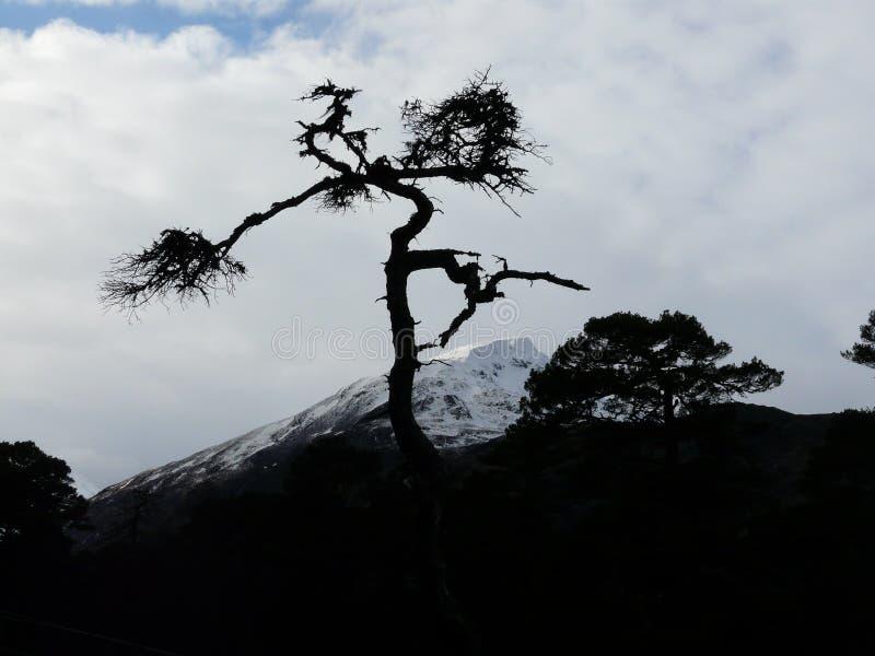 Scots pijnboom in Glen Affric royalty-vrije stock afbeelding