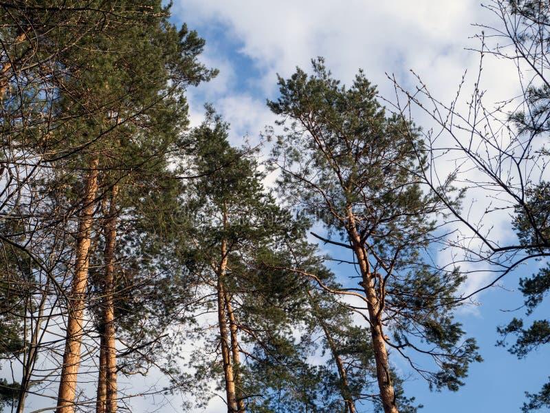 Scots pijnboom, pnussylvestris, in een natuurlijk milieu stock fotografie