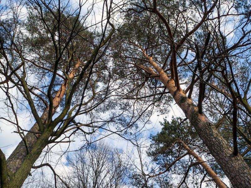 Scots pijnboom, pnussylvestris, in een natuurlijk milieu stock foto's